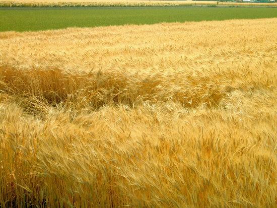 小麦アレルギーとは、何が、どう反応するのでしょうか?