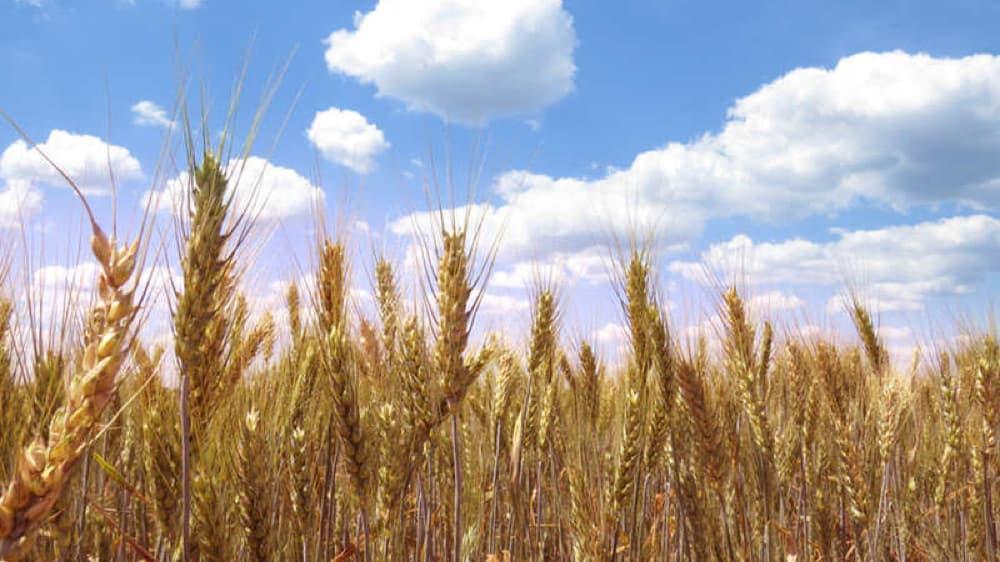 遺伝子組み換えの小麦粉は流通しているのか?